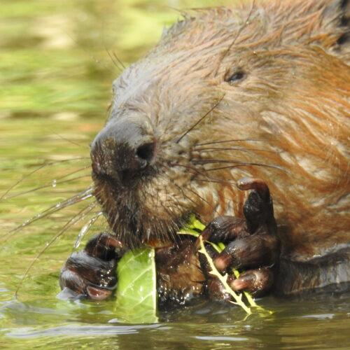 """Webinary: """"O bobrze mówmy dobrze"""" oraz """"Skąd się biorą łachy, podcięcia, bystrza/Plan ratunkowy dla rzek"""""""